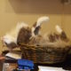 A Cat's Life - Fanan in the basket - Venice Cats News and Shop