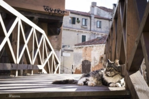 Venicecatscom_maine-coon-cat-ponte-storto-venice_1